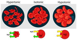 1280px-Osmotic_pressure_on_blood_cells_diagram.svg