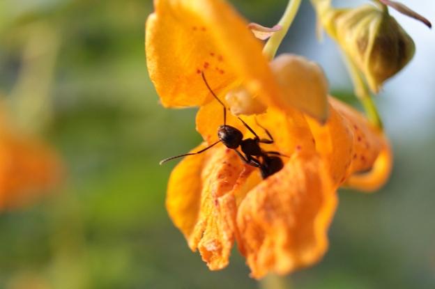 ant-in-flower