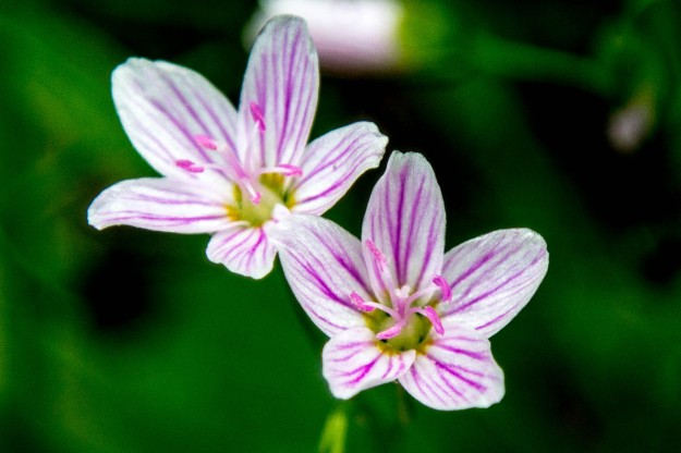 The lake project wildflowers dex independent seminar blog its scientific name is claytonia virginica but it is known as the spring beauty because it generally announces the start of the spring season mightylinksfo